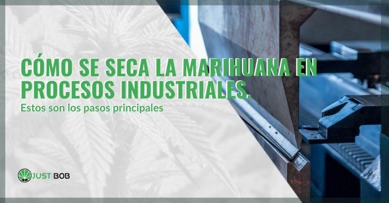 ¿Cómo se seca la marihuana en procesos industriales?