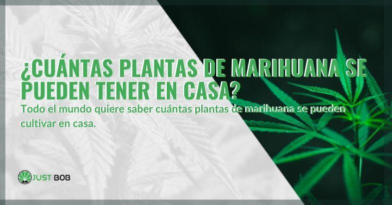 ¿Cuántas plantas de cannabis se pueden tener en casa?