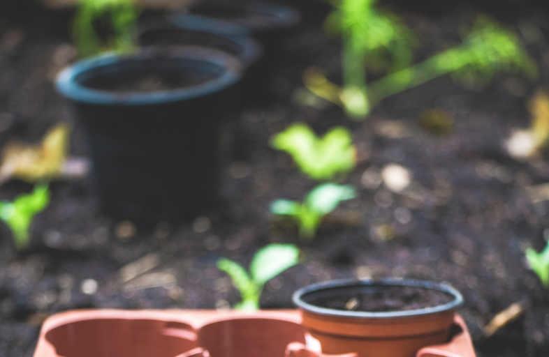 ¿El cultivo de marihuana es ilegal o no?
