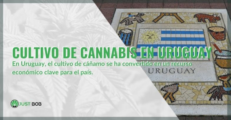 El cultivo de cannabis en Uruguay: un activo para el país