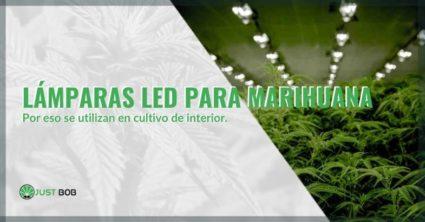 Por eso las lámparas LED se utilizan para el cultivo de cannabis en interiores.