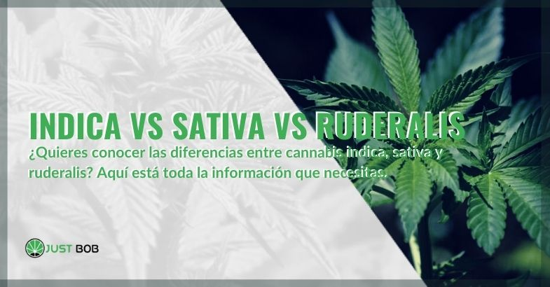 ¿Qué cannabis Indica, Sativa y Ruderalis elegir?