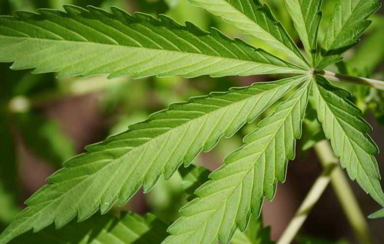 Planta con más THC.