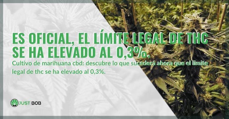El límite de THC se ha elevado oficialmente al 0,3%.