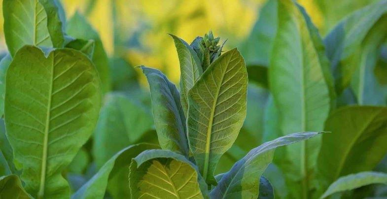 ¿Qué dice la ley sobre el cultivo del tabaco en España?