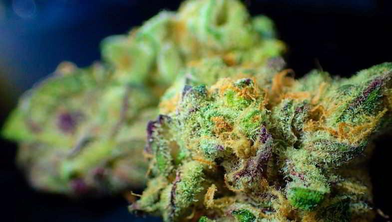 Godfather OG: la planta de cannabis más rica en THC