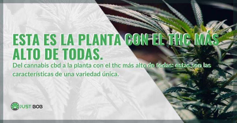 La planta de cannabis con el nivel más alto de THC de todas