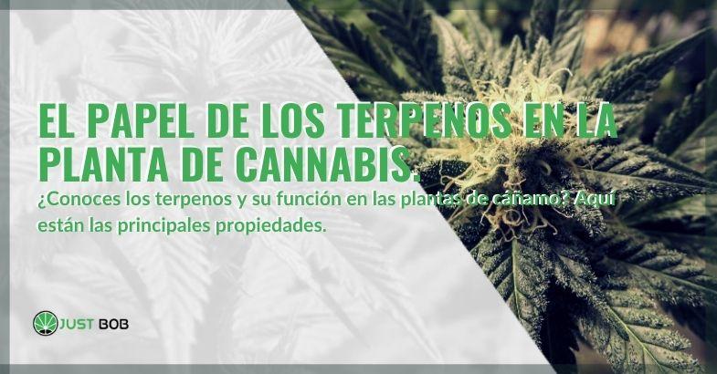 ¿Qué papel juegan los terpenos en la planta de cannabis?