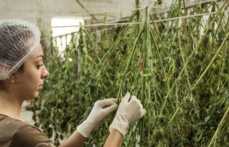 Recogida y bronceado de cannabis light Zkittles CBG