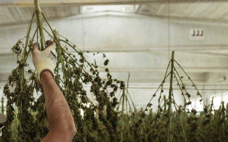 Cosechando cannabis para hacer burbuka hachís