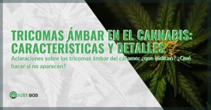 Todos los detalles y características de los tricomas ámbar del cannabis