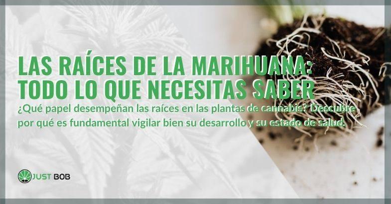 Todo lo que necesitas saber sobre las raíces de la marihuana.