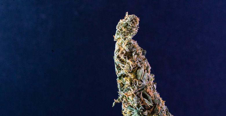 Las características del cannabis cbd Orange Skunk