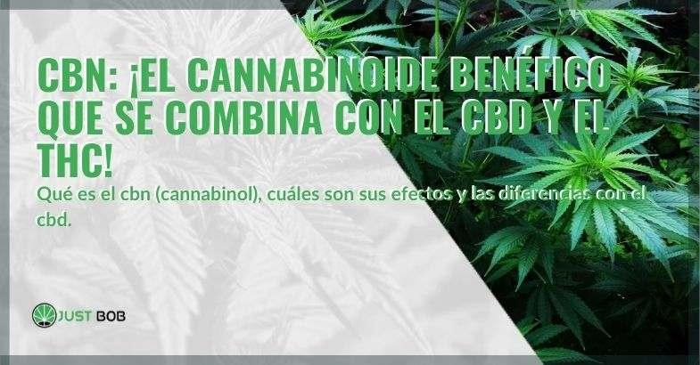 Cannabis con un alto contenido de CBN