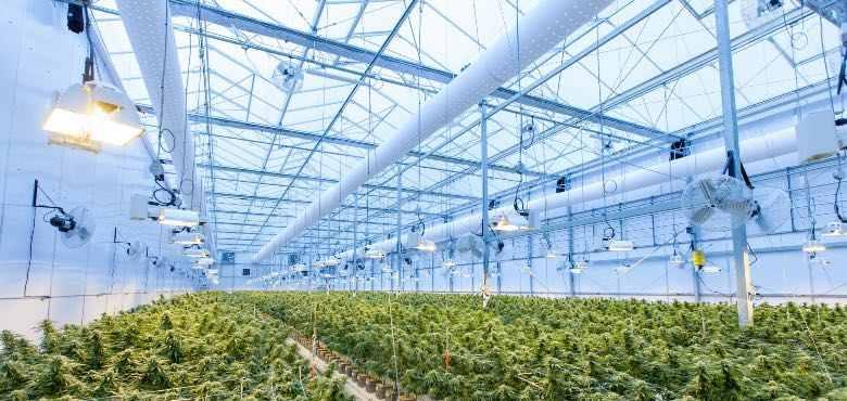 Cultivo de Orange Skunk cbd en invernadero