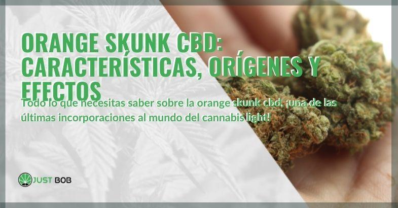 Las características, efectos y orígenes de Orange Skunk CBD